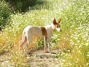 Podenco Canario - Female Podenco Canario abandoned in Gran Canaria, now adopted in Germany