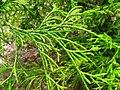 Podlaskie - Suprasl - Kopna Gora - Arboretum - Chamaecyparis pisifera - branch.JPG