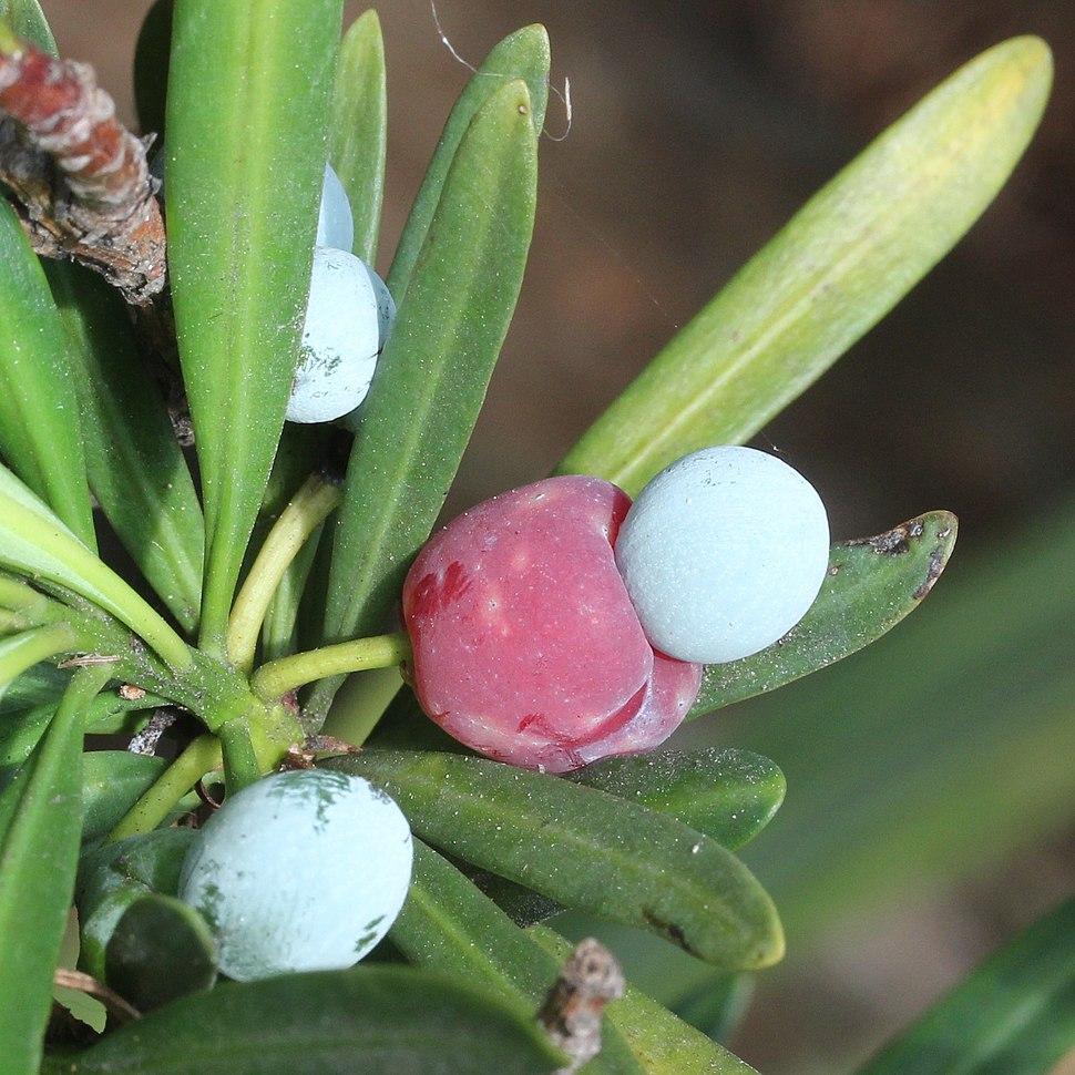 Podocarpus macrophyllus (seed s3)