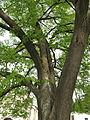 Pohorská Ves, památný strom (2).jpg