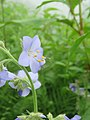 Polemonium caeruleum - blue Jacob's-ladder on way from Gangria to Valley of Flowers National Park - during LGFC - VOF 2019 (7).jpg