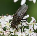 Pollenia sp. (Cluster Fly) - Flickr - S. Rae.jpg