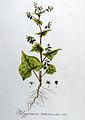 Polygonum tataricum — Flora Batava — Volume v8.jpg