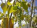 Populus × canadensis 2601.jpg