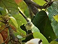 Possibly Gray-crowned Yellow-throat. Geothlypis poliocephala (43568109751).jpg