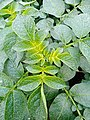 Potato Plant-1.jpg