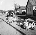 Poultry, automobile, village Fortepan 8488.jpg