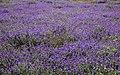 Pradera florida (45113515322).jpg