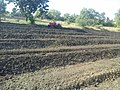 Prepared ridges for papaya planting.jpg