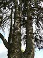 Preuilly-jardin-sapins-espagne-tronc.JPG