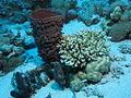 Prickly tube-sponge, Callyspongia crassa at Dangerous Reef, St John's reefs, Red Sea, Egypt - 28 Aug. 2011.jpg