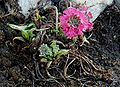 Primula-denticulata-red.JPG