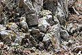 Primula tosaensis and rock.JPG
