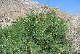 Prosopis velutina in en parque estatal de Anza Borrego, California