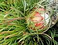 Protea montana outramps tanniedi iNat41362225a.jpg