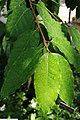 Prunus africana 2zz.jpg