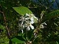 Prunus emarginata 43665.JPG