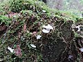 Pseudohydnellum gelatinosum 2.jpg