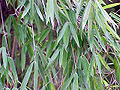 Pseudosasa japonica1.jpg