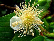 أوراق الجوافة  (Guava leaf) 220px-Psidium_guajava2952420494