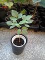 Ptelea trifoliata seedling.jpg