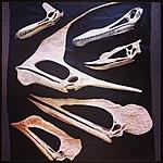 Pterosaur skulls.jpg