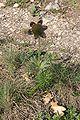 Pulsatilla pratensis subsp. bohemica4.jpg