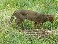 Puma yaguarondi (cropped).jpg
