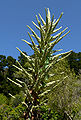 Puya chilensis 4.jpg