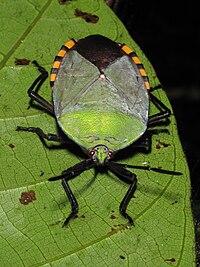 Pycanum rubens (adult), night trail, gunung mulu national park, sarawak, malaysia).jpg