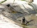 Pycnonotus xanthopygos 002.jpg