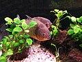 Pygocentrus nattereri - piranha.jpg