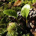 Pyrola rotundifolia 3000907.jpg