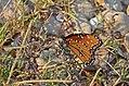 Queen Butterfly - Nolan County TX. 9 2013 (9681554284).jpg