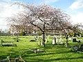 Queens-rd-cemetery-blossom.jpg