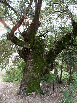 El Bosque, Andalusia - Image: Quejigo El Bosque