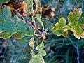 Quercus garryana (304518647).jpg