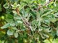Quercus ithaburensis macrolepis-3.jpg