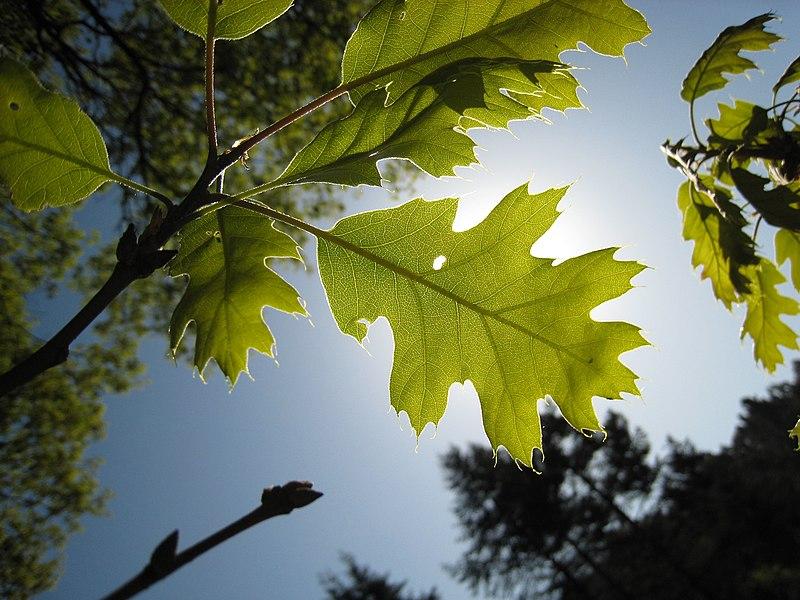 File:Quercus kelloggii 1 (nautical2k).jpg