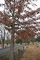 Quercus oglethorpensis (23565575613).jpg