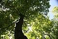 Quercus prinus 15zz.jpg