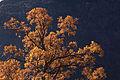 Quercus pubescens Escuaín.jpg