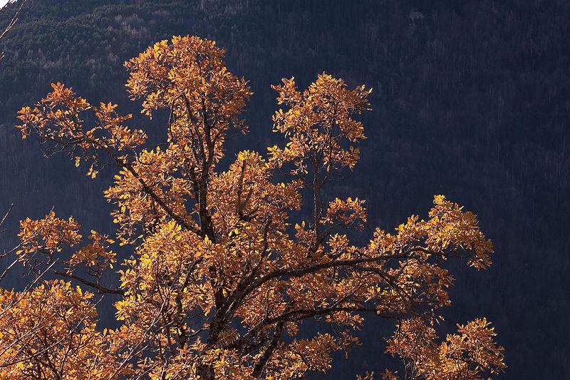 File:Quercus pubescens Escuaín.jpg