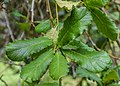 Quercus rugosa in Hackfalls Arboretum (4).jpg