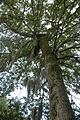 Quercus similis (24087813052).jpg