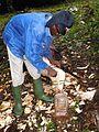 Récolte du vin de palme (Cameroun) (10).jpg