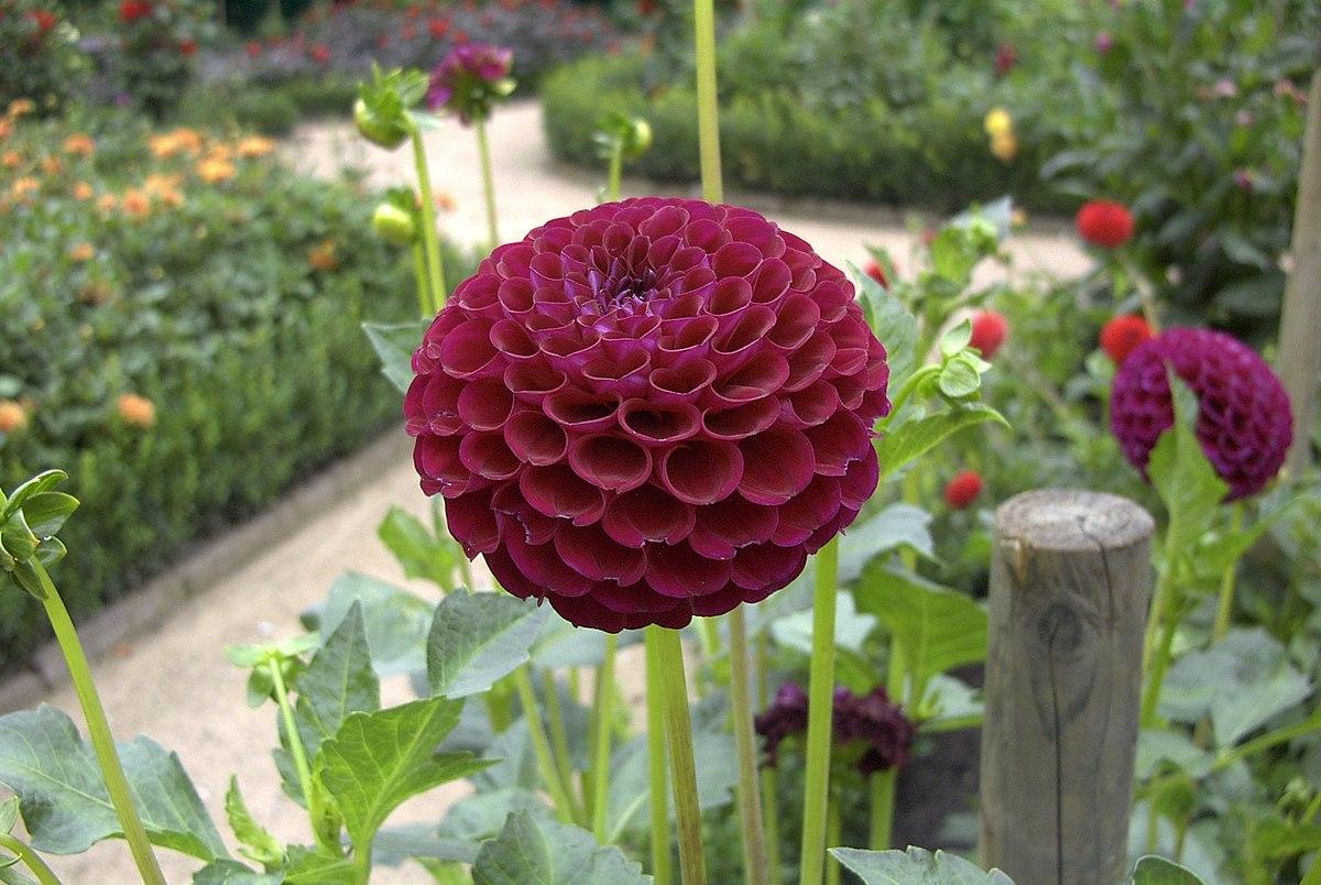 Dahlia À®¤à®® À®´ À®µ À®• À®šà®©à®° The dahlia flower may also mean that we should stay strong and graceful, even in the most difficult situations. dahlia தம à®´ à®µ க சனர