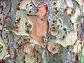 RN Ulmus parvifolia bark.JPG