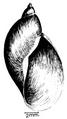 Radix natalensis shell.png