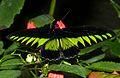 Rajah Brooke's Birdwing (Trogonoptera brookiana albescens) (8734654843).jpg